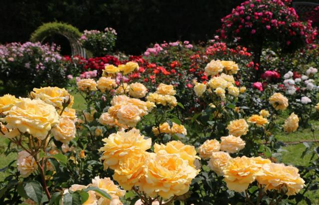 5月19 日再開園した「海の中道海浜公園」で220品種1800株のバラが見頃