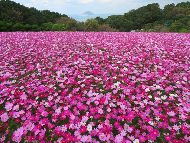 能古島「のこのしまアイランドパーク」遅咲きコスモスが満開に!