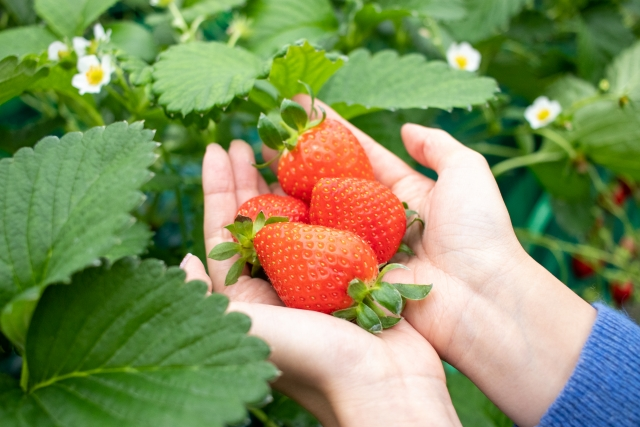 食べてみたいイチゴ1位は「高級イチゴ」日本全国を知り尽くす旅のプロ 『じゃらん』おすすめのお取り寄せイチゴを紹介