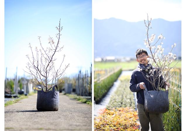 【福岡県内限定】自宅でお花見しませんか?桜の植木リースします
