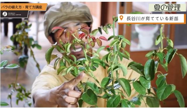 石橋文化センター公式YouTubeチャンネル「バラの植え方・育て方講座⑥夏の管理について」動画配信中!